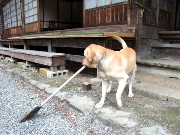 大陽寺のお掃除犬・せんじゅ