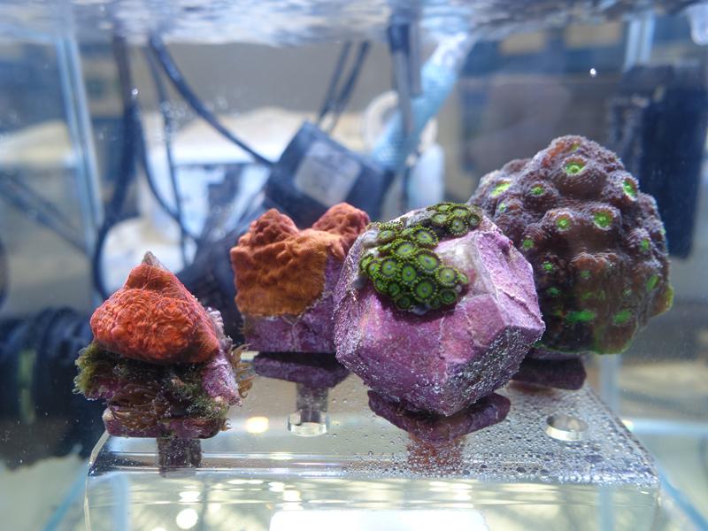 環境移送した水槽の珊瑚